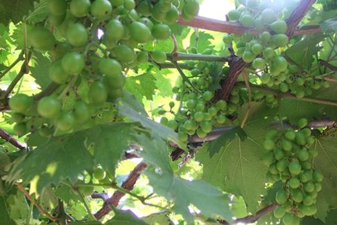 图1:秀山美地(余杭)种植园的葡萄马上就要开放采摘啦!