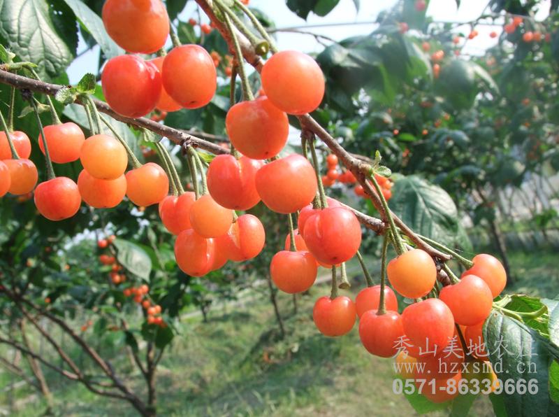 图1:秀山美地农庄樱桃采摘